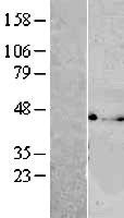 NBL1-17767 - VTA1 Lysate