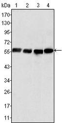 NBP1-47535 - Vimentin