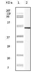 NBP1-47402 - Vimentin