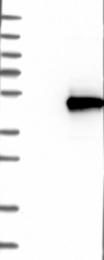 NBP1-84467 - RSAD2 / CIG5