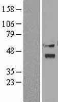 NBL1-15596 - Viperin Lysate