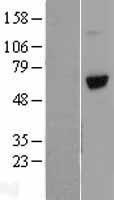 NBL1-17770 - Vitronectin Lysate