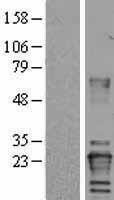 NBL1-17719 - Von Hippel Lindau Lysate