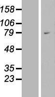 NBL1-17771 - WAC Lysate
