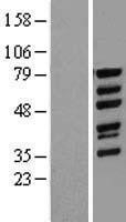 NBL1-17775 - WASF1 Lysate