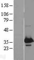 NBL1-17781 - WBP2 Lysate