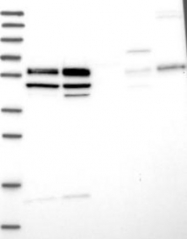 NBP1-84718 - WBP4