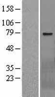 NBL1-17784 - WBSCR17 Lysate