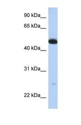 NBP1-54754 - WDR1 / NORI-1
