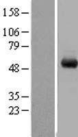 NBL1-17791 - WDR1 Lysate
