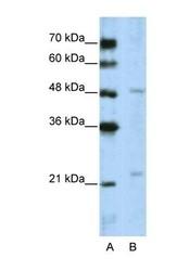 NBP1-53111 - WDR12