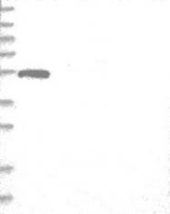NBP1-81947 - WDR16 / WDRPUH