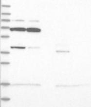 NBP1-81075 - WDR27