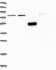 NBP1-92581 - WDR35