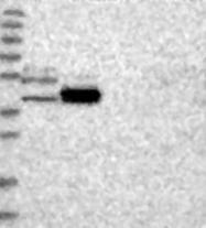 NBP1-81449 - WDR37