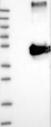 NBP1-86901 - WDR4