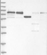 NBP1-92582 - WDR42A