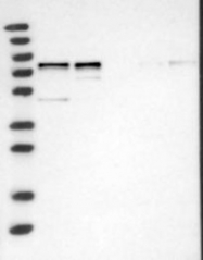 NBP1-92583 - WDR42A