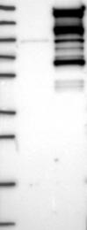 NBP1-85048 - WDR44 / Rabphilin-11
