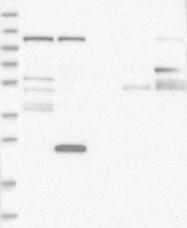 NBP1-81463 - WDR47