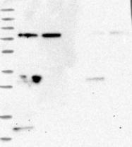 NBP1-81404 - WDR48 / p80