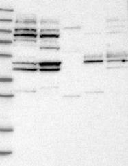 NBP1-82757 - WDR53
