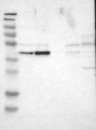 NBP1-82758 - WDR53