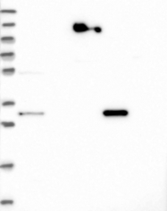 NBP1-82275 - WDR54