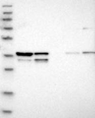 NBP1-92585 - WDR57 / SNRNP40 / PRP8BP