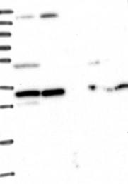 NBP1-80844 - WDR61