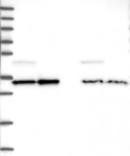 NBP1-80845 - WDR61