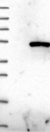 NBP1-82219 - WDR73