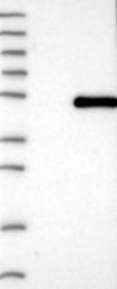 NBP1-84623 - WDR74