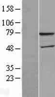 NBL1-17839 - WDTC1 Lysate