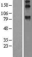 NBL1-17845 - WFS1 Lysate