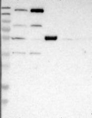 NBP1-82633 - WHSC1