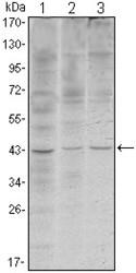NBP1-51658 - WIF1