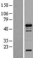 NBL1-17852 - WIPF1 Lysate