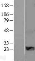 NBL1-17858 - WISP2 Lysate