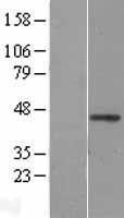 NBL1-17868 - WNT2B Lysate