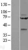 NBL1-17880 - WNT9A Lysate