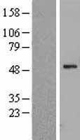 NBL1-17883 - WSB1 Lysate