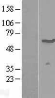NBL1-17885 - WSCD1 Lysate