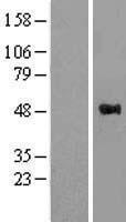 NBL1-17891 - WWOX Lysate