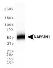 NB110-68133 - Napsin-A