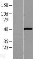 NBL1-17861 - Wnt10a Lysate