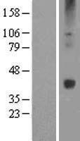 NBL1-17865 - Wnt16 Lysate