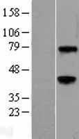 NBL1-17870 - Wnt3a Lysate