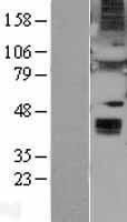 NBL1-17875 - Wnt6 Lysate