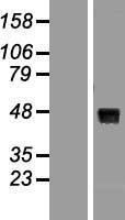 NBL1-17878 - Wnt8A Lysate